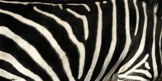 Modelo de la piel de la cebra Imagen de archivo libre de regalías