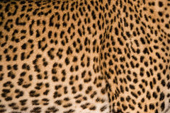 Modelo de la piel del leopardo imagenes de archivo