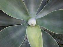 Modelo de la planta del agavo Imagenes de archivo