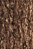 Modelo de la textura de la corteza del pino Imagen de archivo