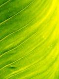 Modelo de la textura de la hoja para el fondo, el ambiente y el ecol de la primavera Imagen de archivo libre de regalías