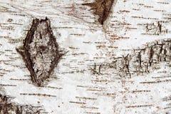 Modelo de la textura del árbol de abedul Fotografía de archivo
