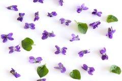 Modelo de las flores del odorata de la viola aisladas en el fondo blanco, endecha plana, visión superior El concepto de primaver imágenes de archivo libres de regalías