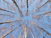 Modelo de los árboles de abedul Fotografía de archivo