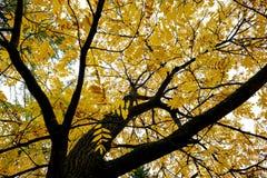 Modelo de los árboles del otoño Visión desde la parte inferior a rematar Fotografía de archivo