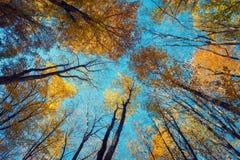 Modelo de los árboles forestales del otoño Mirada para arriba del cielo azul Backgroun Imagen de archivo libre de regalías