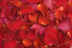 Modelo de los pétalos de la tarjeta del día de San Valentín Imagen de archivo