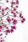 Modelo de ramas sin las hojas pero con muchas flores florecientes de la magnolia del rosa hermoso aisladas en blanco fotos de archivo libres de regalías