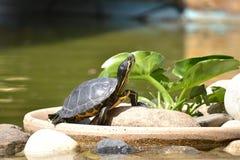 Modelo de Tortuga Foto de archivo libre de regalías