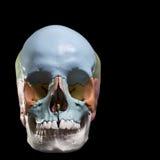 Modelo de um crânio humano Fotografia de Stock