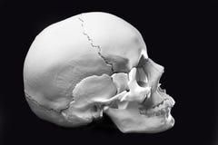 Modelo de um crânio humano Fotos de Stock Royalty Free