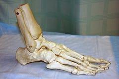 Modelo de um pé humano Fotografia de Stock