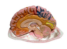 Modelo de un cerebro Fotos de archivo