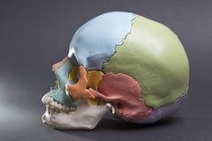 Modelo de un cráneo humano Imagen de archivo