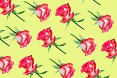 Modelo decorativo de rosas rosadas brillantes foto de archivo libre de regalías