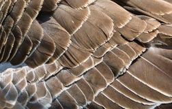 Modelo del adorno de la textura de las plumas del ganso de Brown Fotos de archivo libres de regalías