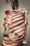 Modelo del cuerpo humano de la anatomía fotos de archivo libres de regalías