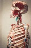 Modelo del cuerpo humano de la anatomía fotografía de archivo