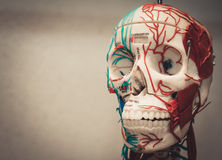 Modelo del cuerpo humano de la anatomía Foto de archivo libre de regalías