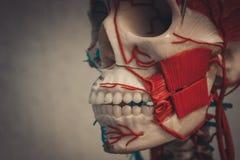 Modelo del cuerpo humano de la anatomía imagenes de archivo
