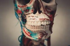 Modelo del cuerpo humano de la anatomía imagen de archivo libre de regalías