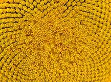 Modelo del girasol brillante hermoso Antecedentes de la flor del verano Fotos de archivo