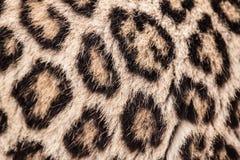 Modelo del leopardo Fotografía de archivo