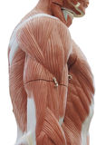 Modelo del músculo del tronco Foto de archivo libre de regalías