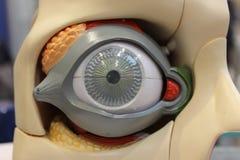 Modelo del ojo imagen de archivo libre de regalías
