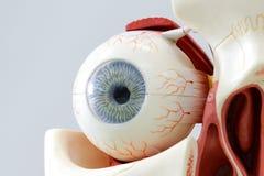 Modelo del ojo humano Imagen de archivo