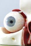 Modelo del ojo humano Imagen de archivo libre de regalías