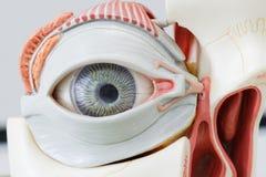 Modelo del ojo humano Foto de archivo libre de regalías
