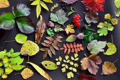 Modelo del otoño de hojas En un fondo de la oscuridad hojas coloreadas de diversas plantas Foto de archivo libre de regalías