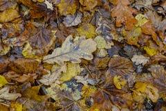 Modelo del otoño de las hojas caidas-abajo Imagen de archivo libre de regalías