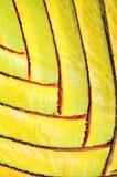 Modelo del vástago del plátano Fotos de archivo libres de regalías