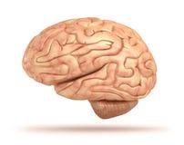 Modelo do cérebro humano 3D Imagem de Stock Royalty Free