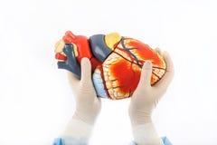 Modelo do coração humano Fotografia de Stock