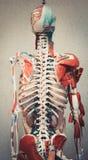 Modelo do corpo humano da anatomia Fotografia de Stock Royalty Free