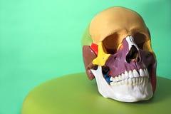 Modelo do crânio Imagem de Stock