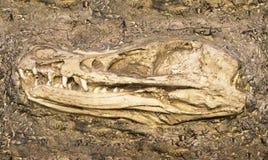 Modelo do crânio da ave de rapina foto de stock