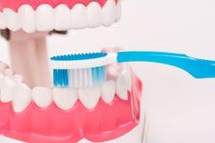 Modelo do dente ou modelo dental com escova de dentes Imagem de Stock Royalty Free