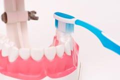 Modelo do dente ou modelo dental com escova de dentes Fotografia de Stock Royalty Free