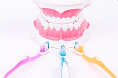 Modelo do dente ou modelo dental com escova de dentes Fotos de Stock