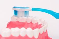 Modelo do dente ou modelo dental com escova de dentes Fotografia de Stock