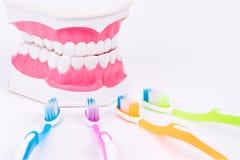 Modelo do dente ou modelo dental com escova de dentes colorida Fotografia de Stock