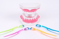 Modelo do dente ou modelo dental com escova de dentes colorida Foto de Stock