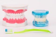 Modelo do dente ou modelo dental com escova de dentes colorida Fotografia de Stock Royalty Free