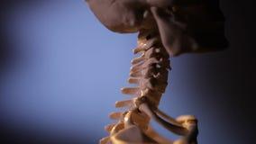 Modelo do esqueleto humano filme