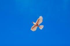 Modelo do voo do pássaro em um céu azul magnífico Imagens de Stock