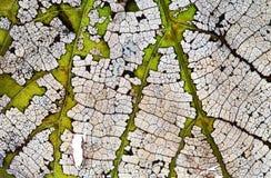 Modelo esquelético de la textura de la visión de la hoja transparente macra del extracto Concepto natural de los cambios Proceso  Imagen de archivo libre de regalías